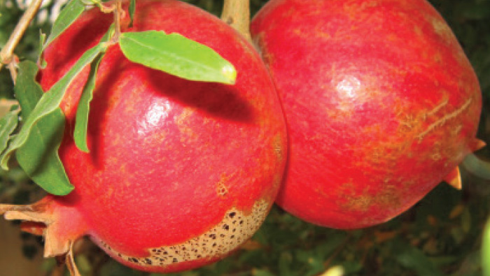 Top 10 Great Reasons To Love The Pomegranate Oregon Jewish Life